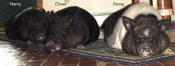 Foyer Piggies